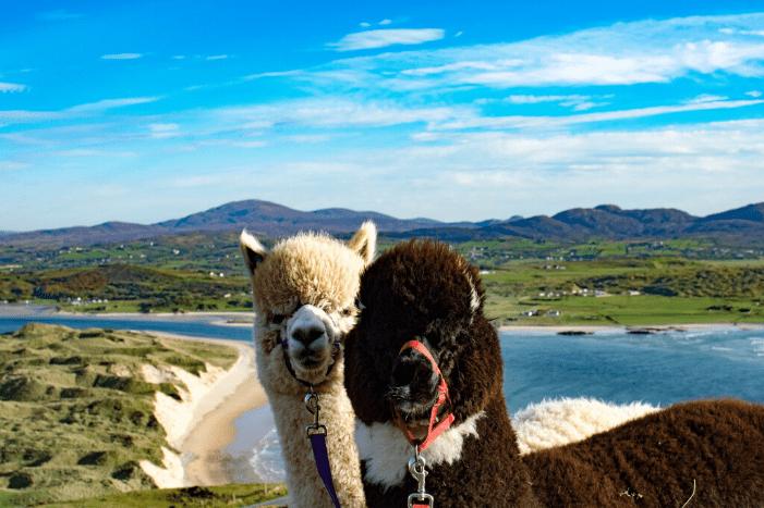 Walk with Alpacas in Inishowen